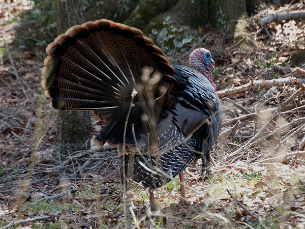 Turkey Strut