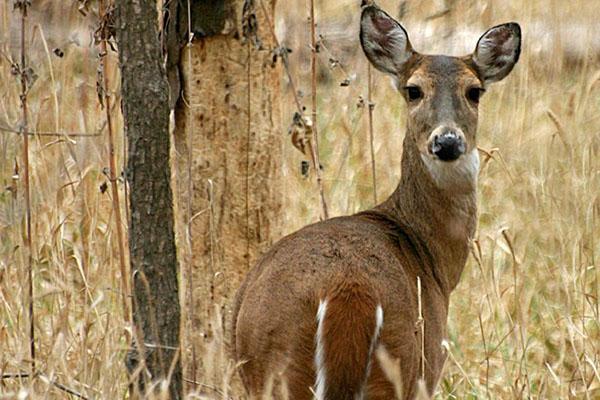 Deer Calls 101