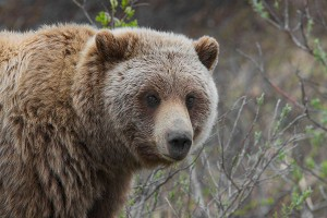 Dangerous Animal Encounters Part 1: Bears And Mountain Lion